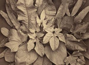 Charles Aubry, Untitled (A Study of Leaves)
