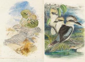 John Gould birds drawings
